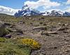 Oreopolus glacialis