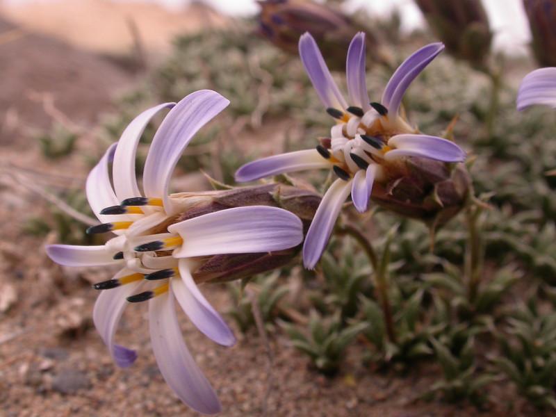Perezia recurvata ssp patagonica