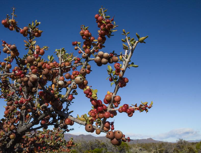 Wasp galls on Schinus marchandii in fruit