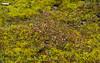 Gaultheria caespitosa