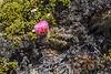 Austrocactus aff bertinii