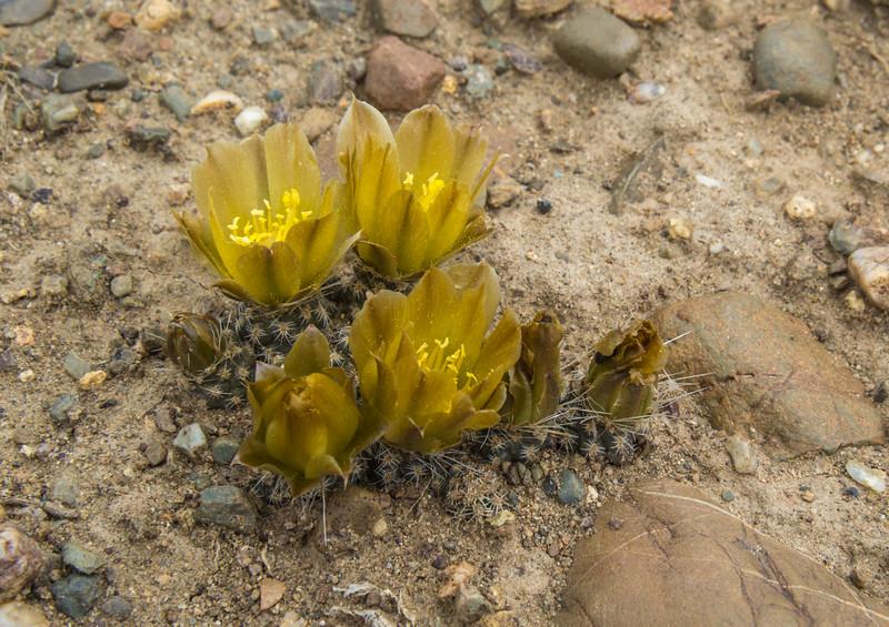 Pterocactus australis