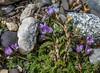 Astragalus nivicola