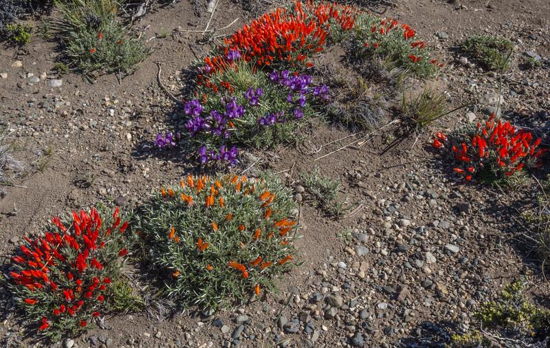 Anarthrophyllum desideratum and Astragalus patagonicus or A. neoburkartianus or A. cruckshanksii ?