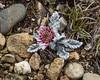Leucheria hahnii var. lanata