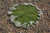 Junellia tridactylites
