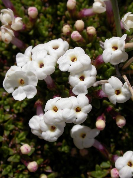 Junellia silvestrii