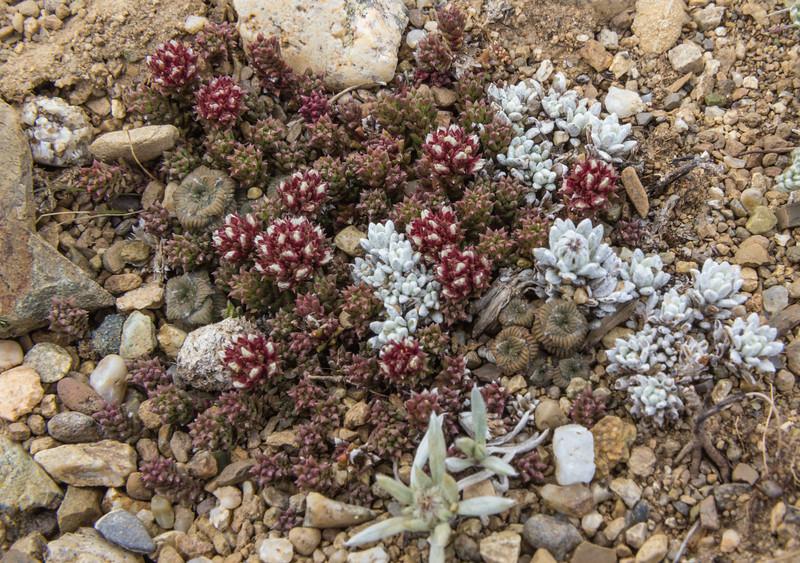 Nassauvia pygmaea and Senecio boelckei