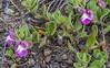 Scutellaria nummulariifolia