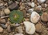 Moschopsis rosulata