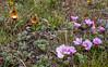Calceolaria uniflora and Oxalis enneaphylla