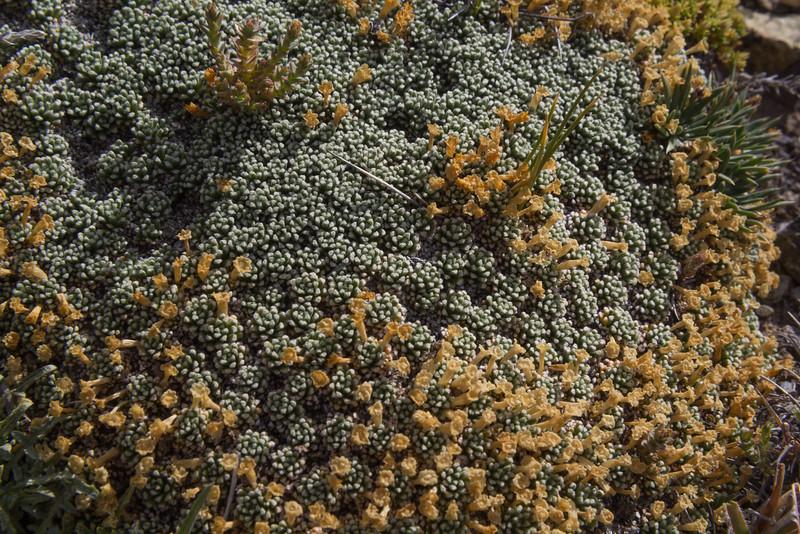 Benthamiella patagonica