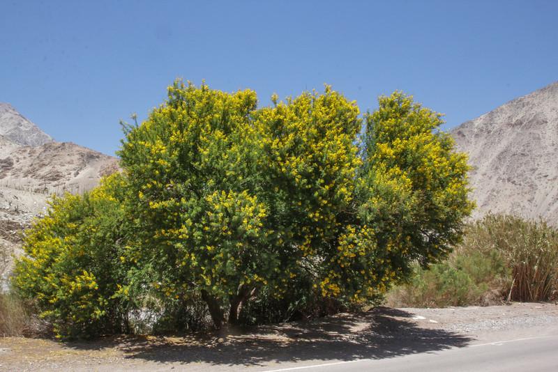 Acacia caven