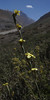 Sisyrinchium junceum ssp. colchaguense