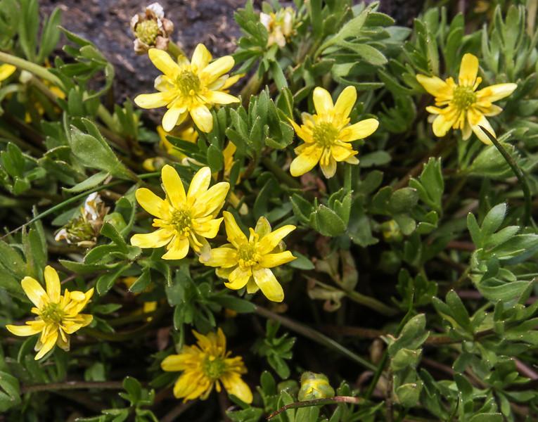 Ranunculus peduncularis var. erodiifolius