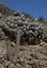 Eulychnia breviflora & Copiapoa dealbata