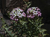 Arjona patagonica