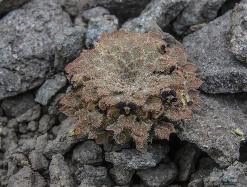 Viola montagnei