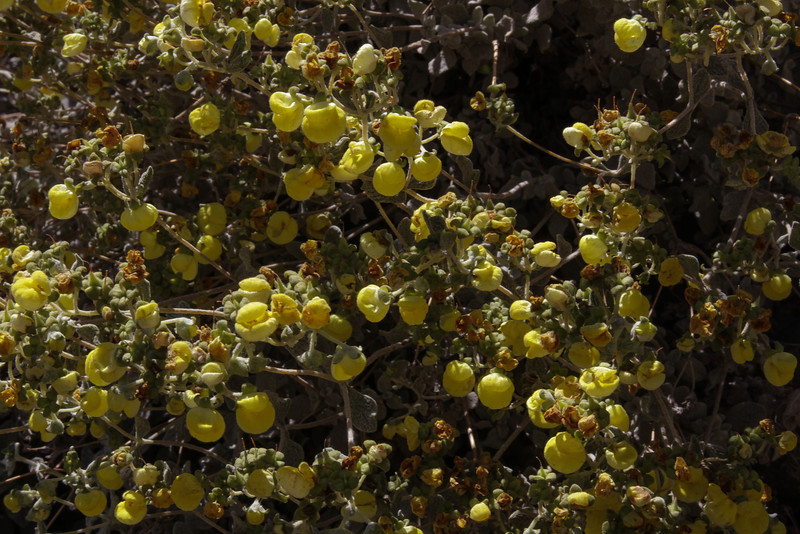 Calceolaria ??