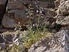 Malesherbia linearifolia