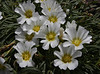 Calandrinia affinis