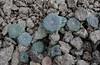 Chaetanthera renifolia