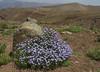 Mulguraea spathulata, syn. Junellia spathulata