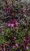 Stachys philippiana