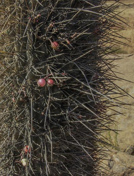 Echinopsis chiloensis & Fruit of Tristerix aphyllus