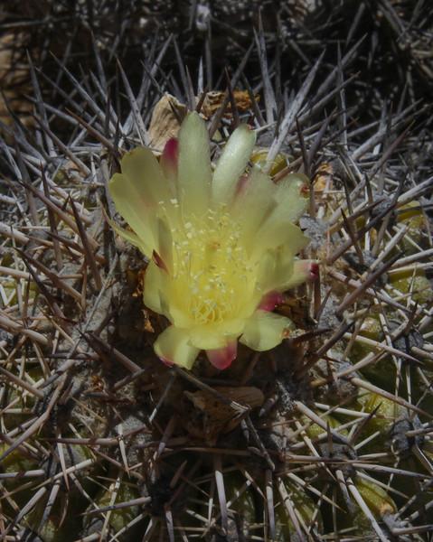 Copiapoa cinerascens