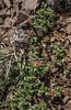 Viviana marifolia