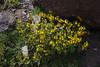 Calceolaria corymbosa ssp. montana