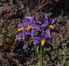 Solanum etuberosum