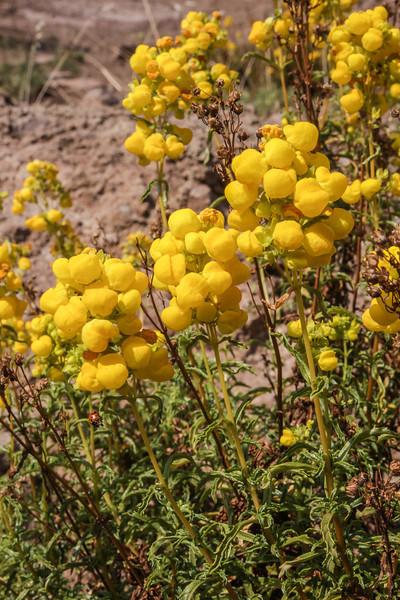 Calceolaria pallida