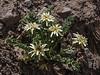 Perezia carthamoides