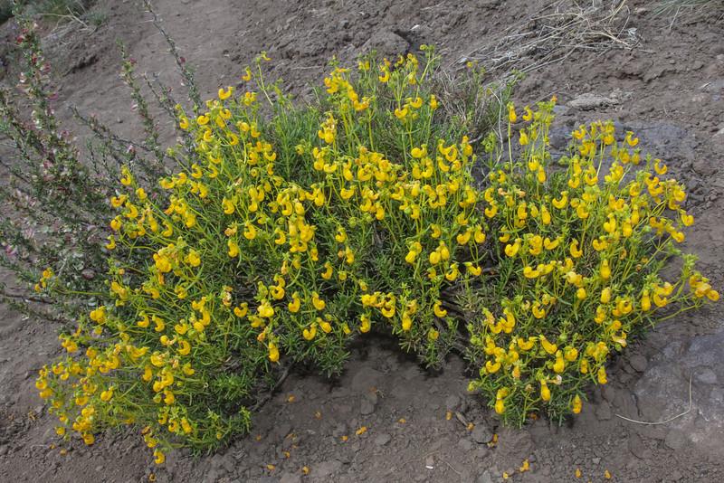 Calceolaria hypericina