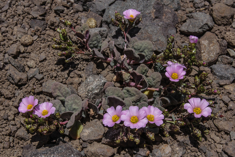 Cistanthe picta in a pink form
