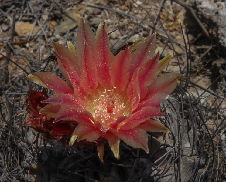 Eriosyce subgibbosa