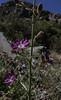 Malesherbia linearifolia ?
