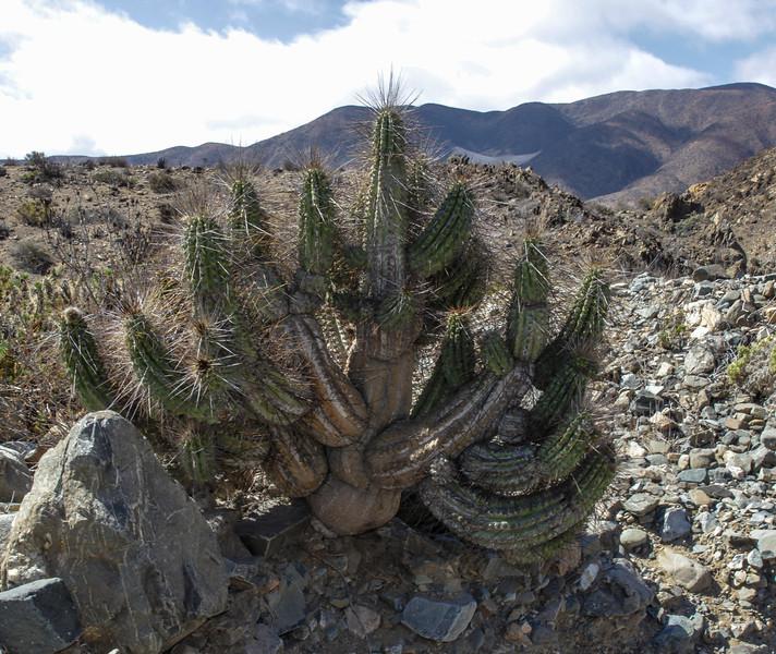 Eulychnia breviflora?