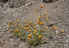 Schizanthus grahamii var. coccinea (syn. Schizanthus coccineus)