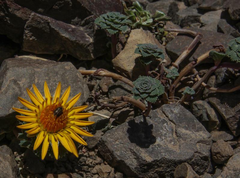 Chaetanthera flabellifolia