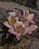 Alstroemeria pallida