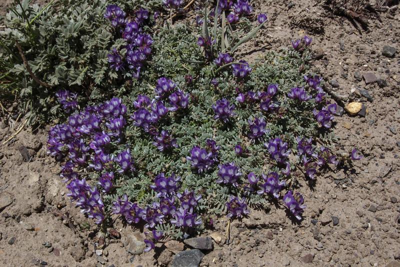 Astragalus vesiculosus