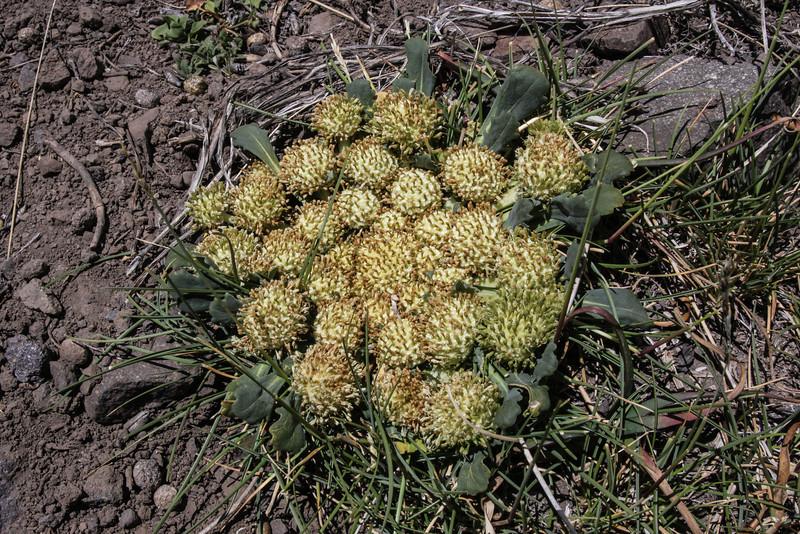Nastanthus scapigerus at Laretia acaulis