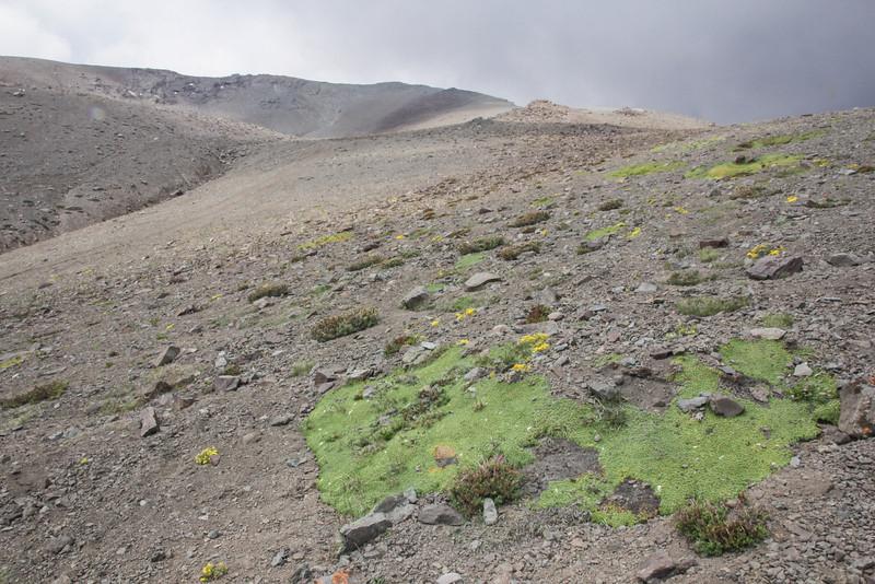 Habitat of Laretia acaulis, Oreopolus glacialis and Viola atropurpurea