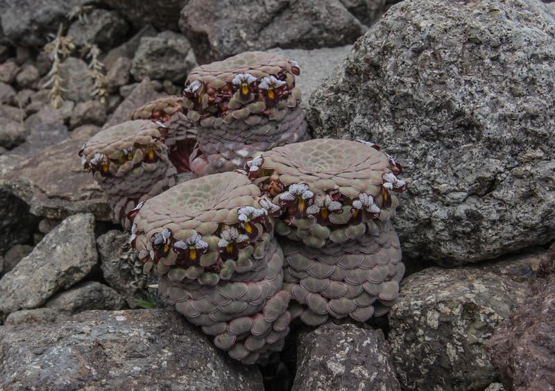 Viola atropurpurea