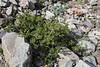 Ribes cucculatum ?