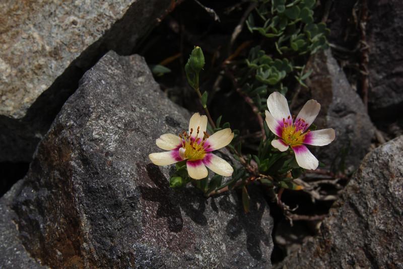 Montiopsis tricolor