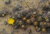 Maihueniopsis atacamensis